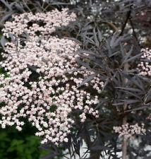 Ceppo ad alta nero Sambuco Black Lace ® 80-100cm Sambucus nigra