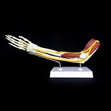 Anatomical Advanced Muscled Elbow Joint Model - Arm Skeleton Muscle Anatomy