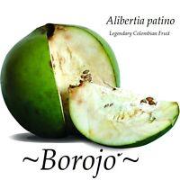 ~BOROJO~ Alibertia patino Legendary Colombian Fruit Tree Live small potted Plant