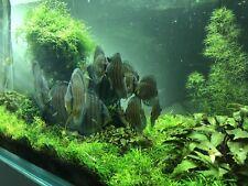 Live Plants: Najas Roraima Freshwater Plant