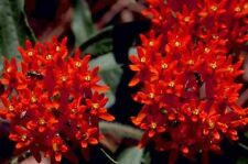 30+ Deep Red Butterfly Weed Flower Seeds / Asclepias / Perennial / Great Gift