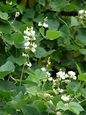 White Hyacinth Bean Vine - Seeds for Gardening