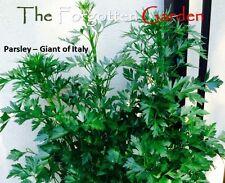 Parsley - Giant of  Italy Seed 200 Seeds Herb Heirloom Italian Medicinal Garden