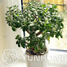 Bonsai Crassula Ovata Plants Tree Balcony Home Garden Free Shipping 20 Pcs Seeds