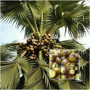 5 X Palmyrah Seeds Palmyra Palm Borassus Flabellifer Asian Fruits Tree Non Gmo