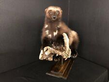 Wolverine Mount Taxidermy Fur Pelt Coyote Bobcat Red Fox Gray Fox New