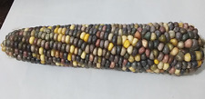 Corn Rainbow - A Rare & Stunning Rainbow Colored Corn Variety!!!