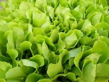 3000 GREEN GRAND RAPIDS LOOSE LEAF LETTUCE Lactuca Seed