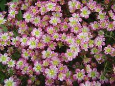 75+ Saxifraga Red Cap Flower Seeds /Evergreen Perennial / Gift