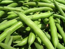BUSH BEAN 'Strike' 20+ seeds dwarf vegetable garden HEIRLOOM stringless green