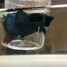 New listing 1 live gray and black betta plakat male 5-Stars Fighter fish ( Super Fighter)
