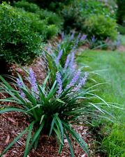 Super Blue Liriope Qty 15 Live Plants Evergreen Ground Cover Grass