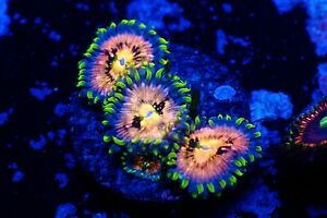 WWC NIRVANA ULTRA COLLECTORS ZOANTHID ZOA LIVE CORAL FRAG
