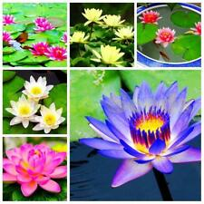 40 Pcs  LOTUS FLOWER SEEDS AQUATIC PLANTS Lotus Water Lily Seeds Home Decor