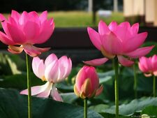 Bonsai Lotus /water lily flower/Bowl-Pond Lotus/5 Fresh seeds/ Pink Lady Lotus