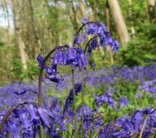 ENGLISH BLUEBELL BULBS X20 Large Spring Flowering 'Hyacinthoides Non Scripta'