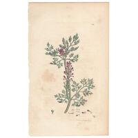 Sowerby antique 1st ed 1795 hand-colored engraving botanical Pl 589 Fumitory