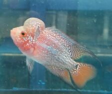 "3.5"" Red Dragon Flowerhorn Young Male  Live Tropical Fish Healthy Guaranteed."