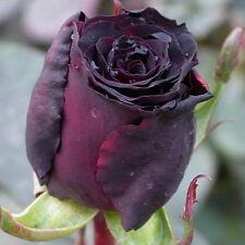 200pcs Black Rose Seeds Garden Flower Seeds Rosa Rugosa