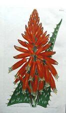 ALOE PICTA SPOTTED LEAVED ALOE  Curtis Original Antique Botanical Print 1810