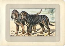 Stampa antica CANE OTTERHOUND per caccia alla lontra 1907 Old antique print dogs