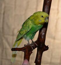 Taxidermy Budgerigar Yellow Parrot Stuffed Wall Mount