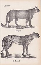 Puma Puma concolor Gepard Acinonyx jubatus LITHOGRAPHIE von 1831 Brüggemann
