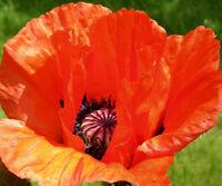 Oriental Poppy seeds Orange - Scarlet color perennial wildflower