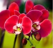 Red Orchid 100 Pcs Phalaenopsis Butterfly Flower Seeds Elegant Ornamental Flower