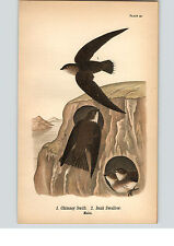1890 Bird Colored Lithograph Litho Plate Chimney Swift  Bank Swallow  Males