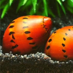 3x Tiger Nerite Snails Freshwater Aquarium Pond Algae Eating Planted Tank