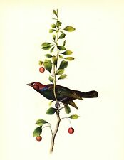 AUDUBON Painting BREWER'S BLACKBIRD Vintage 1937 Birds of America Art Book Print