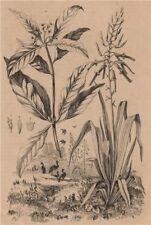 PLANTS. Pitcairnia. Pittospore (Pittosporum) 1834 old antique print picture