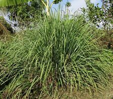 Lemongrass * 20+ Seeds *  East Indian Herb Seed lemon grass