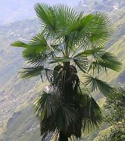 Trachycarpus takil - Kalamuni @ winterharte Kumaon-Hanfpalme@sortenrein@ 5 Samen