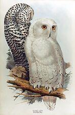 "John Gould, Snow Owl, antique art decor, Birds, 20""x12"" Print"