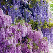 20pcs Purple Wisteria Flower Seeds Perennial Climbing Plants Bonsai Home Garden