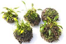 Cryptocoryne Willisii Live Aquarium Plants / Vivarium Aquascaping Tank Nano Ball