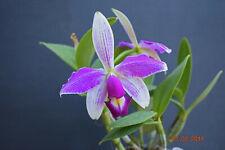 Orchidee  cattleya  - violacea semi alba Flamea - Jungpflanze seedling Pflanzen
