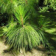 Yunnan Pine Tree Seeds (Pinus yunnanensis) 30+Seeds
