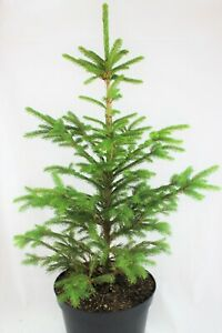 Real, Living Norway Spruce Christmas Tree 3-4ft (90-120cm)