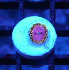 Badass Pink Diamonds Zoas / Palys - Badass Frags Wysiwyg Live Coral Frag