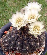 Gymnocalycium Taningaense(10 SEEDS) Very Rare Cactus Succulent Plant Samen  Korn