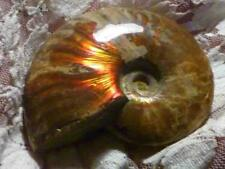 """3"""" BRIGHT Red AMMOLITE Polished AMMONITE FOSSIL 575 carats"""