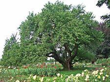 Black Cherry Tree Prunus serotina Wild Rum Established Roots 1 Gallon Trade Pot