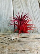 3 Tillandsia Ionantha ~Red Velvet~Colorized Terriaum Garden Air Plant