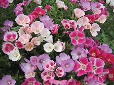 Godetia Flower Seeds - Pinks - Bulk *