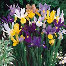 12 mixed colour dutch summer flowering iris bulbs