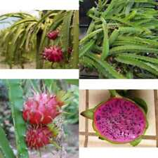 New listing Dragon Fruit Four Live Plant Edgar's Baby Deep Red Plants (4) Garden Outdoor New