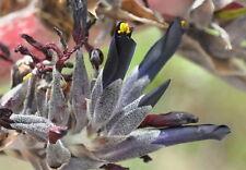 Puya coerulea var violacea   20 x Fresh Seed